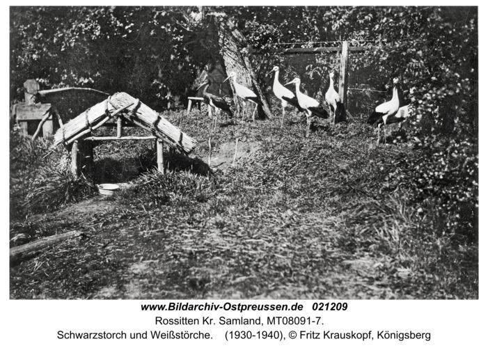 Rossitten Kr. Samland, Schwarzstorch und Weißstörche