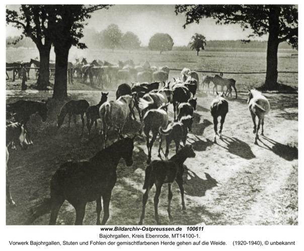Groß Trakehnen, Vorwerk Bajohrgallen, Stuten und Fohlen der gemischtfarbenen Herde gehen auf die Weide