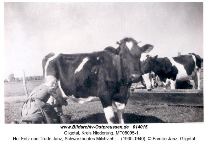 Gilgetal, Hof Fritz und Trude Janz, Schwarzbuntes Milchvieh