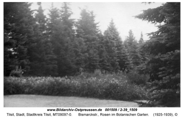 Tilsit, Bismarckstr., Rosen im Botanischen Garten