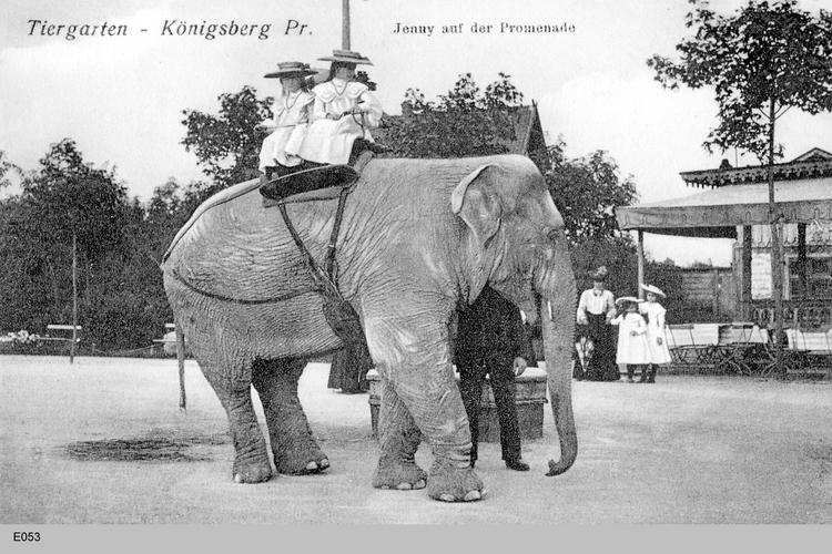 Königsberg, Tiergarten mit Elefant