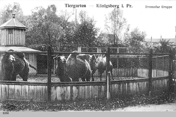 Königsberg, Dromedare im Tiergarten