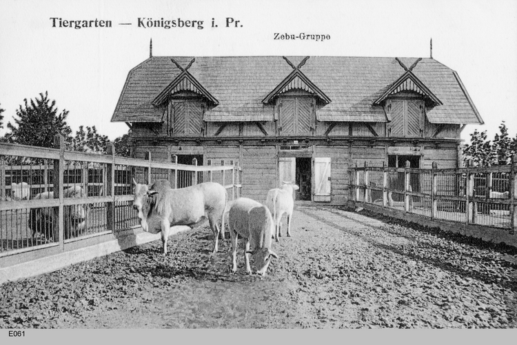 Königsberg, Zebus im Tiergarten