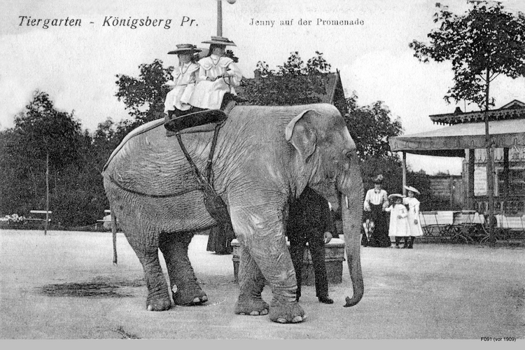 Königsberg, Tiergarten und Elefant Jenny