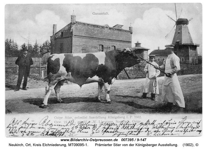 Neukirch 247, Prämierter Stier von der Königsberger Ausstellung
