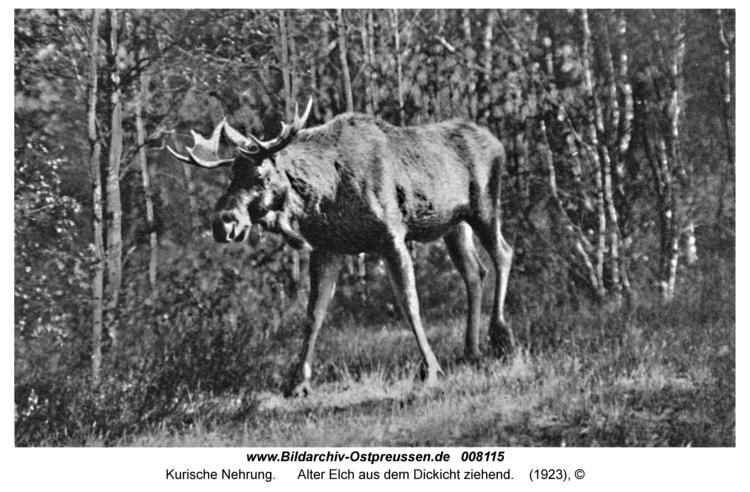 Kurische Nehrung, Alter Elch aus dem Dickicht ziehend