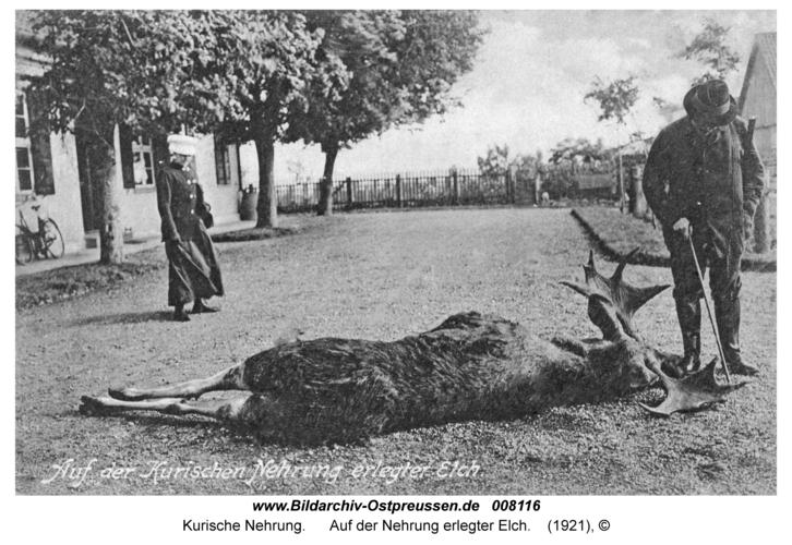 Kurische Nehrung, Auf der Nehrung erlegter Elch