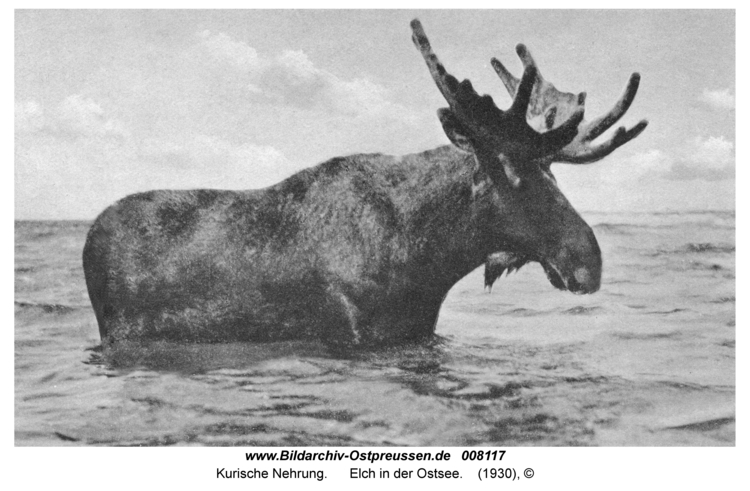 Kurische Nehrung, Elch in der Ostsee