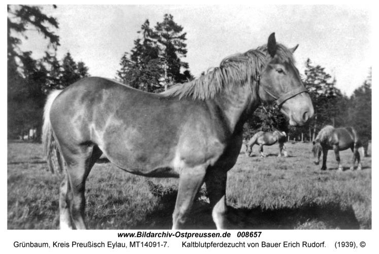 Grünbaum Kr. Preußisch Eylau, Kaltblutpferdezucht von Bauer Erich Rudorf