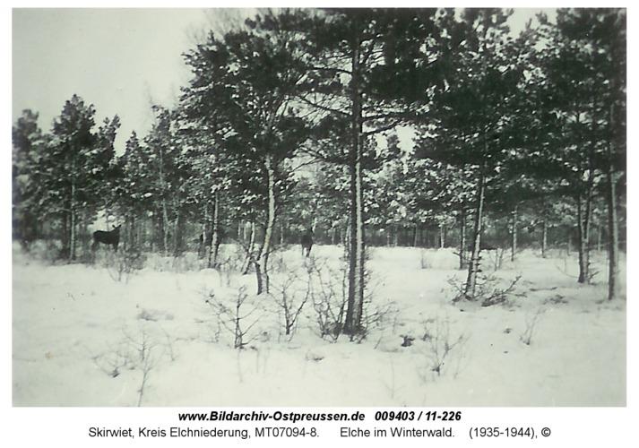 Skirwiet, Elche im Winterwald