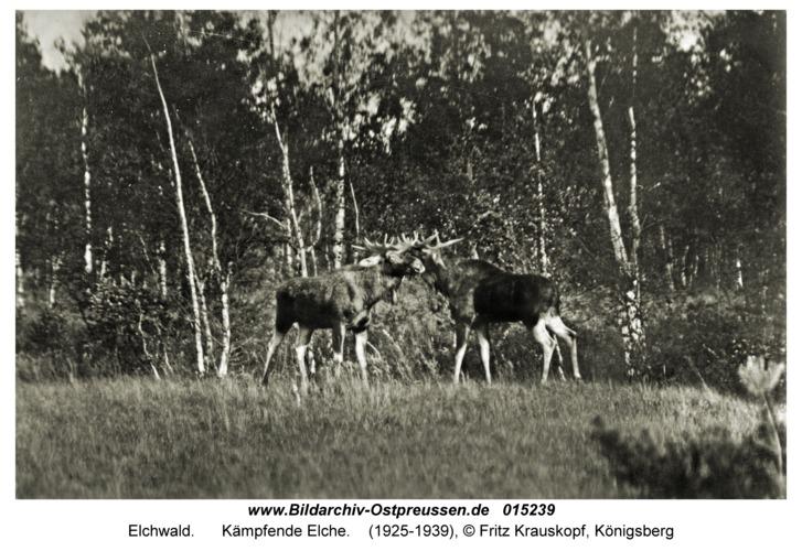 Elchwald, Kämpfende Elche