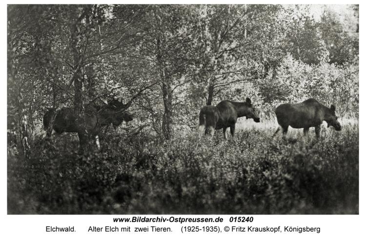 Elchwald, Alter Elch mit zwei Tieren