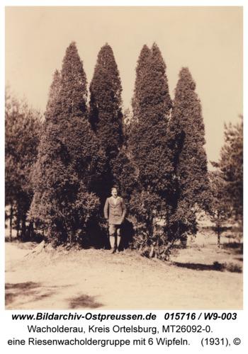 Wacholderau, eine Riesenwacholdergruppe mit 6 Wipfeln