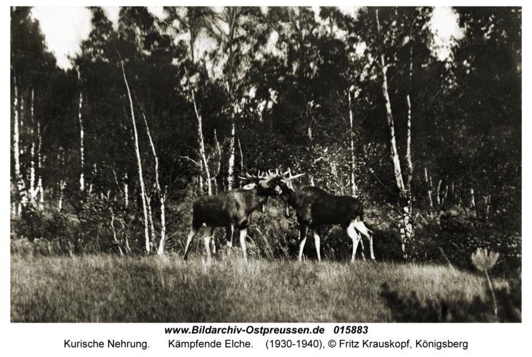 Kurische Nehrung, Kämpfende Elche