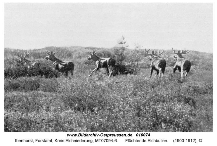 Ibenhorst Forstamt, Flüchtende Elchbullen