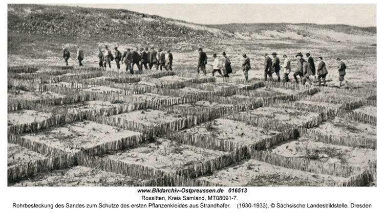 Rossitten Kr. Samland, Rohrbesteckung des Sandes zum Schutze des ersten Pflanzenkleides aus Strandhafer
