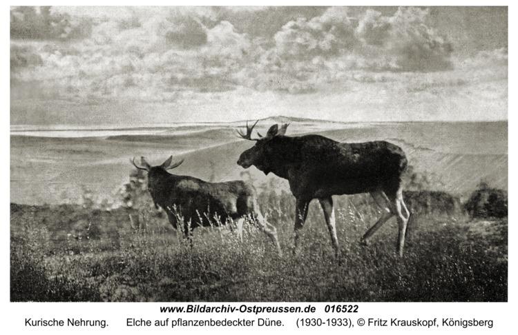 Kurische Nehrung, Elche auf pflanzenbedeckter Düne