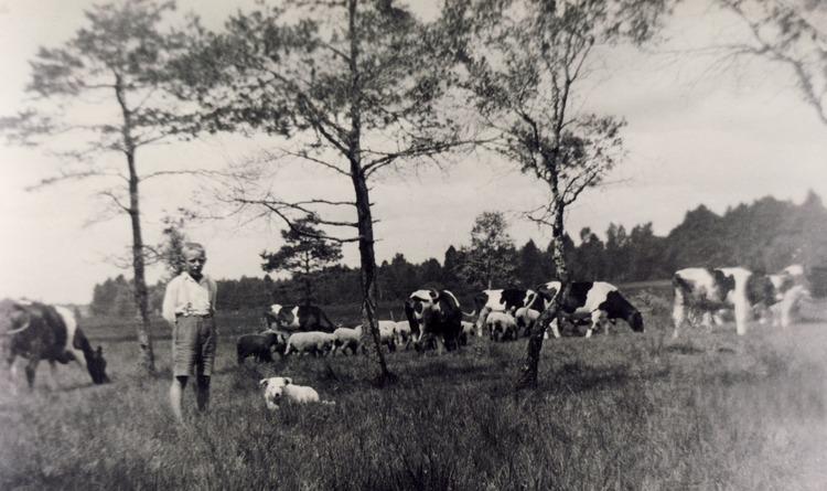 Geislingen, Lothar Olk beim Kühe hüten