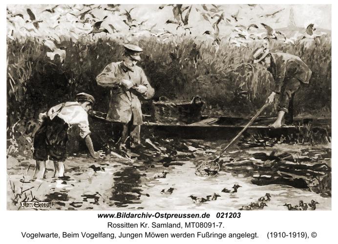 Rossitten Kr. Samland, Vogelwarte, Beim Vogelfang, Jungen Möwen werden Fußringe angelegt