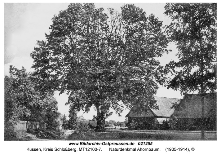 Kussen, Naturdenkmal Ahornbaum