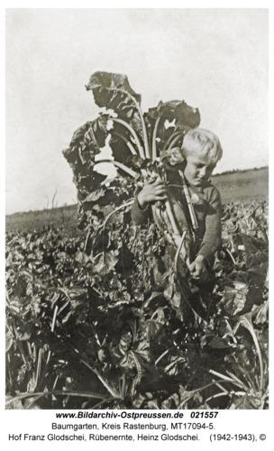 Baumgarten Kr. Rastenburg, Hof Franz Glodschei, Rübenernte, Heinz Glodschei