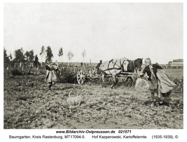 Baumgarten Kr. Rastenburg, Hof Kazperowski, Kartoffelernte