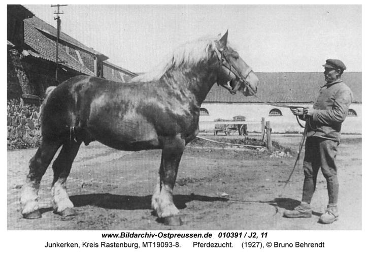 Junkerken, Pferdezucht