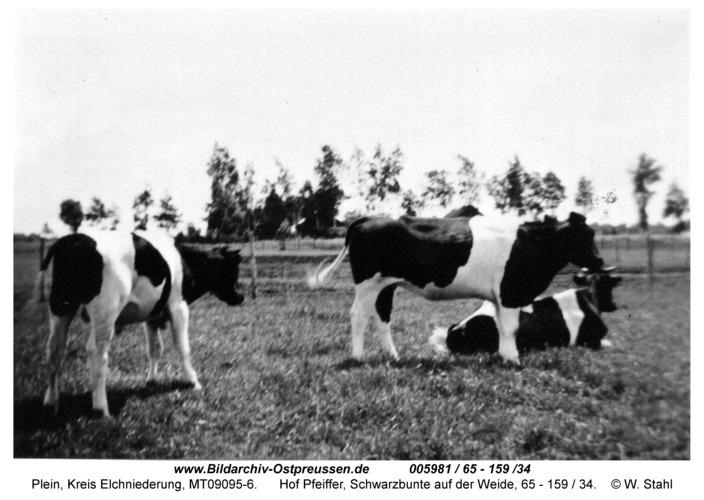 Plein, Hof Pfeiffer, Schwarzbunte auf der Weide, 65 - 159 / 34