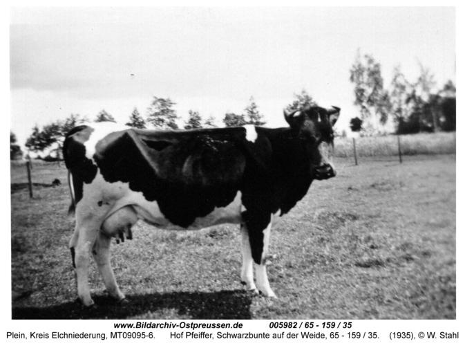 Plein, Hof Pfeiffer, Schwarzbunte auf der Weide, 65 - 159 / 35