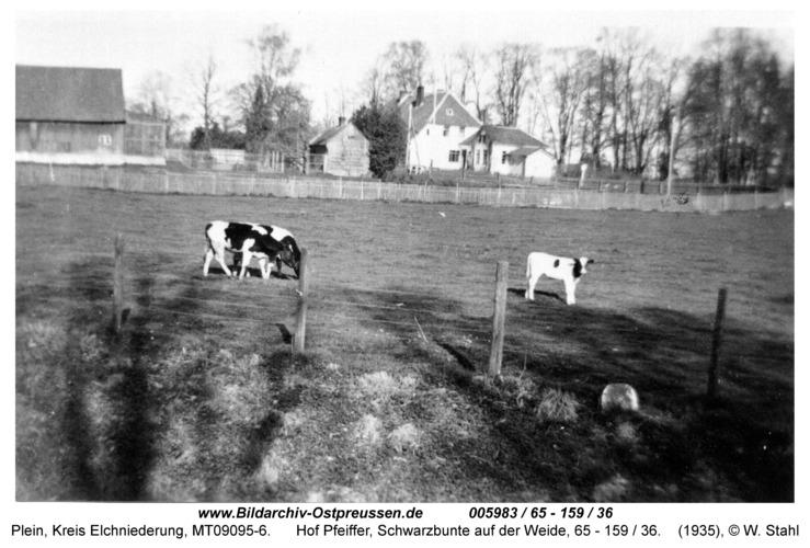 Plein, Hof Pfeiffer, Schwarzbunte auf der Weide, 65 - 159 / 36