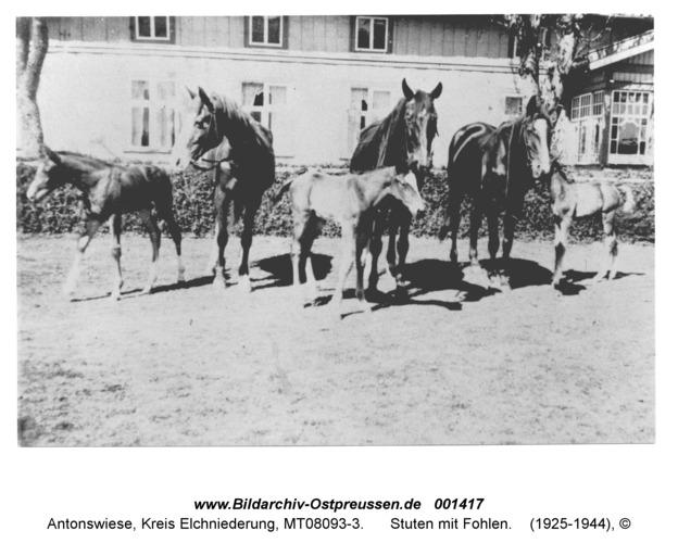 Antonswiese, Stuten mit Fohlen